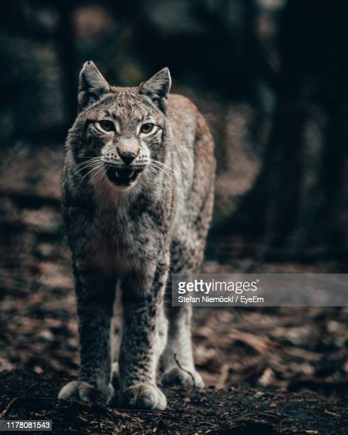 portrait of cat on field - aggression stock pictures, royalty-free photos & images