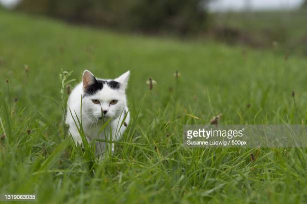 portrait of cat on grassy field,germany - susanne ludwig stock pictures, royalty-free photos & images