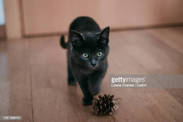 portrait of cat on hardwood floor - lorena day stock pictures, royalty-free photos & images