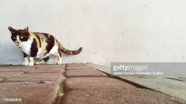 portrait of cat on wall - netanya stock pictures, royalty-free photos & images