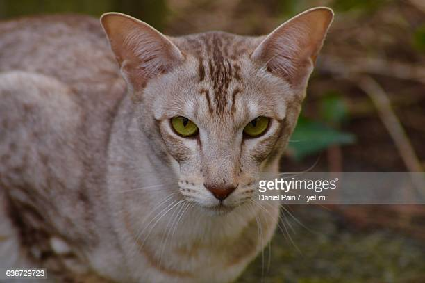 portrait of cat - carnivora stock photos and pictures