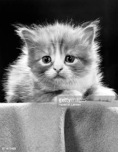 portrait of cat  - mamífero con garras fotografías e imágenes de stock