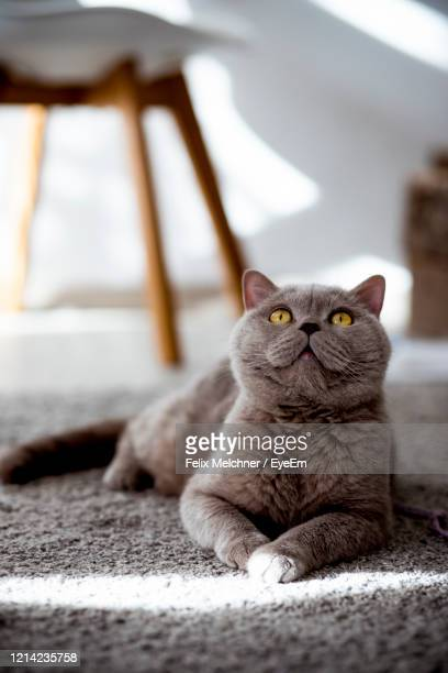 portrait of cat relaxing on a rug at home - british shorthair cat stock pictures, royalty-free photos & images