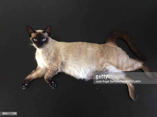 portrait of cat relaxing on black background - black siamese cat stock pictures, royalty-free photos & images
