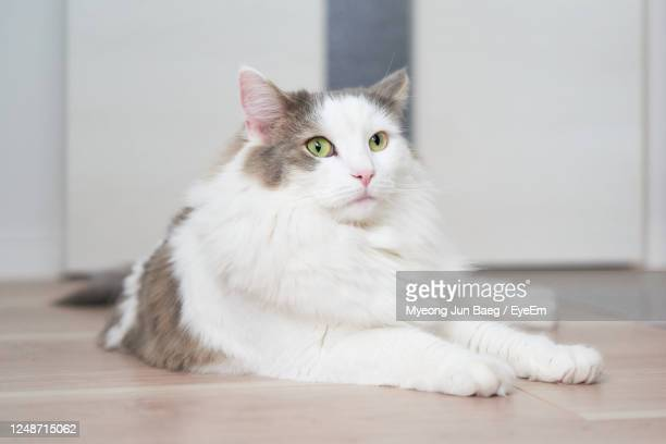 portrait of cat relaxing on floor at home - animal hair stock pictures, royalty-free photos & images
