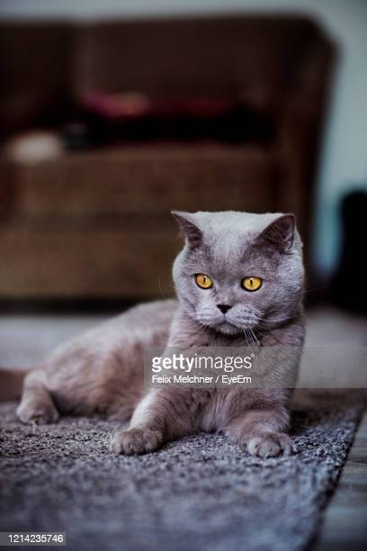 portrait of cat relaxing on floor - british shorthair cat stock pictures, royalty-free photos & images