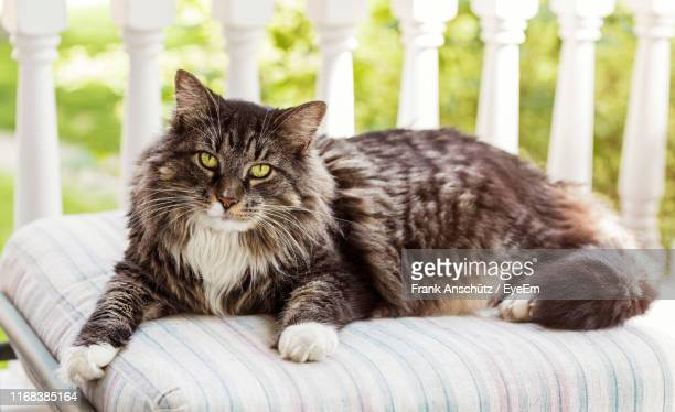 portrait of cat relaxing outdoors - maine coon cat stock pictures, royalty-free photos & images
