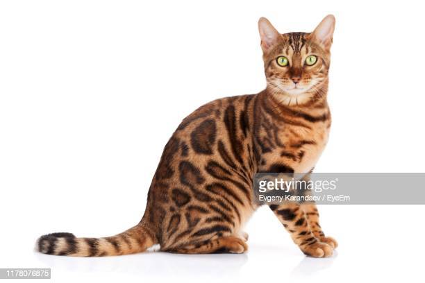 portrait of cat sitting against white background - bengal cat stock pictures, royalty-free photos & images