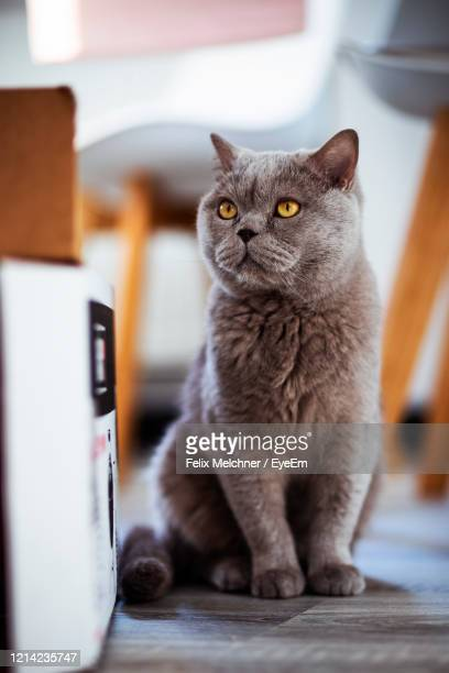 portrait of cat sitting at home - british shorthair cat stock pictures, royalty-free photos & images
