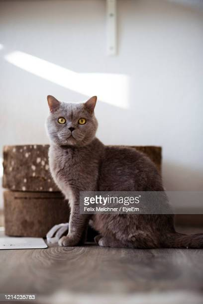 portrait of cat sitting on floor at home - british shorthair cat stock pictures, royalty-free photos & images