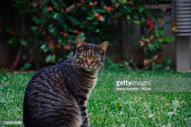 portrait of cat sitting on grass,monza,lombardia,italy - monza stock pictures, royalty-free photos & images