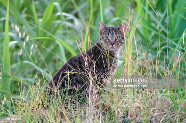 portrait of cat sitting on grassy field,italia,italy - italia stock-fotos und bilder