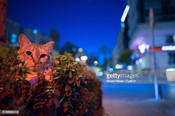 Portrait Of Cat Sitting On Plant By Illuminated Street At Night