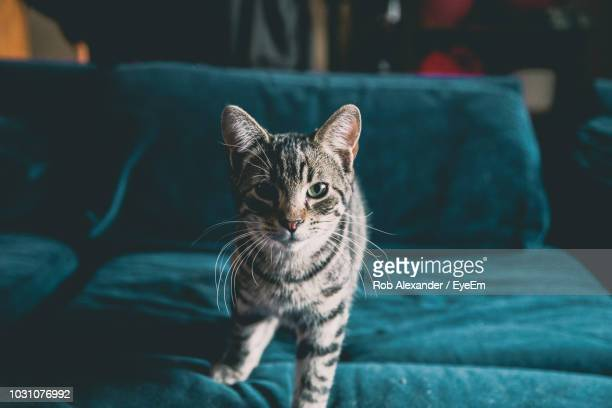 portrait of cat sitting on sofa at home - animal whisker stock pictures, royalty-free photos & images