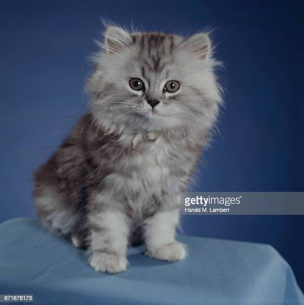 portrait of cat sitting on table  - pawed mammal stock pictures, royalty-free photos & images