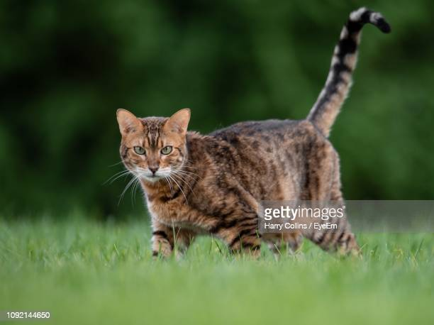 portrait of cat standing on grassy field - bengal cat stock pictures, royalty-free photos & images
