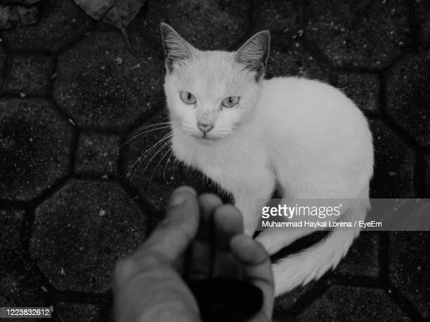 portrait of cat staring at a hand. - lorena day stock pictures, royalty-free photos & images