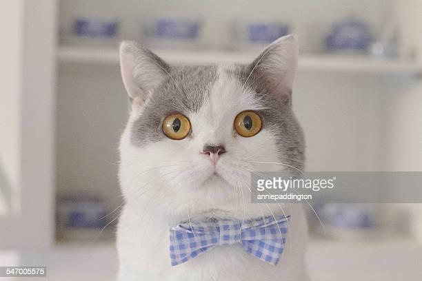 portrait of cat wearing bow tie - strikje stockfoto's en -beelden