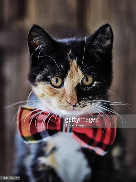 Portrait of cat wearing bow tie