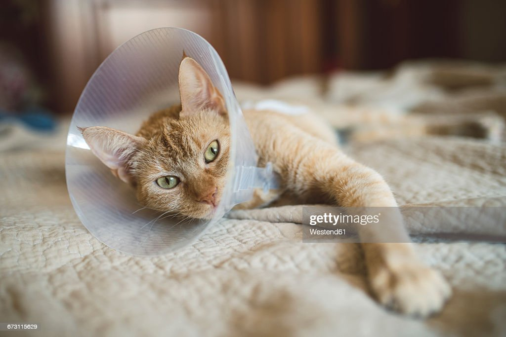 Portrait of cat with Elizabethan collar lying on bed : Stock Photo