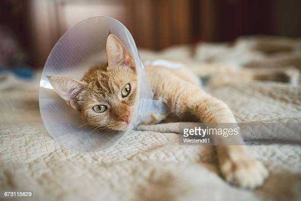 portrait of cat with elizabethan collar lying on bed - elizabethan collar fotografías e imágenes de stock