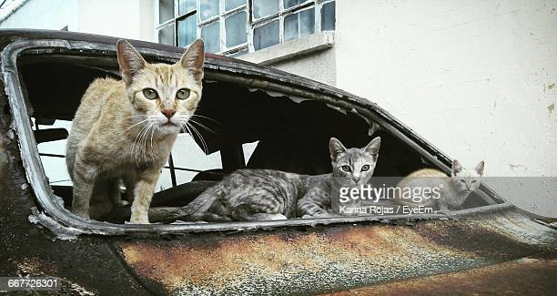 Portrait Of Cats In Abandoned Car