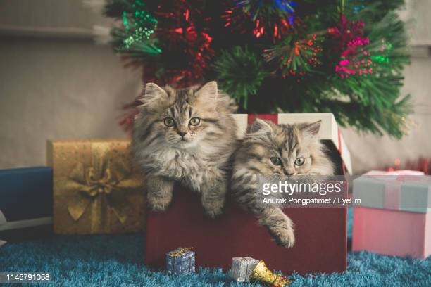portrait of cats in box against christmas decoration - christmas kittens stock pictures, royalty-free photos & images