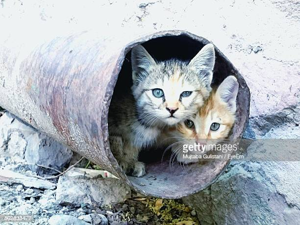 Portrait Of Cats In Rusty Pipe