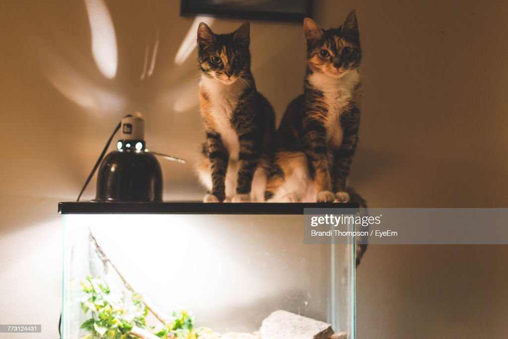 Stupendous Portrait Of Cats Sitting On Fish Tank At Home Stock Photo Download Free Architecture Designs Rallybritishbridgeorg