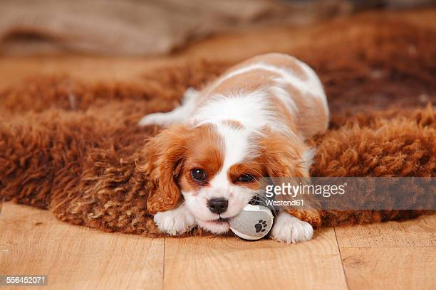 portrait of cavalier king charles spaniel puppy lying on sheep skin - cavalier king charles spaniel stock pictures, royalty-free photos & images