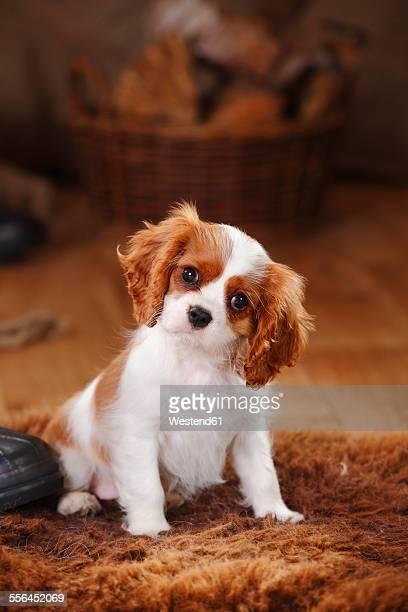 Portrait of Cavalier King Charles Spaniel puppy sitting on sheep skin