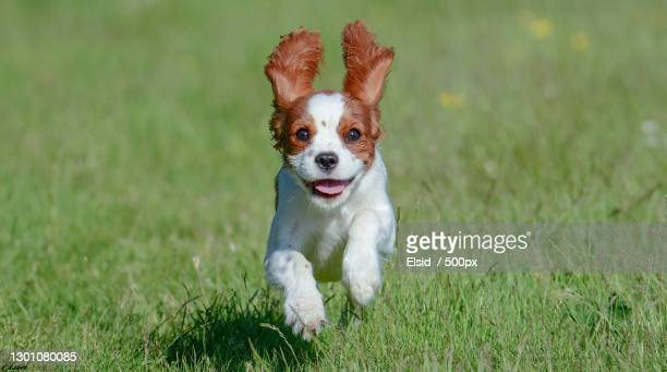 portrait of cavalier king charles spaniel running on grassy field,partille,sweden - cavalier king charles spaniel photos et images de collection