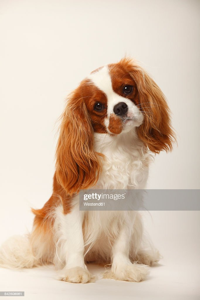 portrait of cavalier king charles spaniel sitting in front