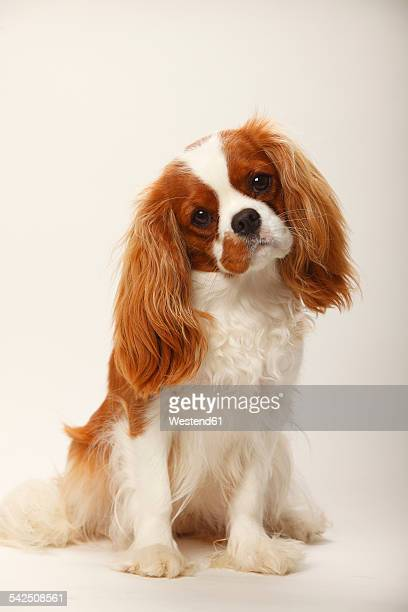 portrait of cavalier king charles spaniel sitting in front of white background - cavalier king charles spaniel stock pictures, royalty-free photos & images