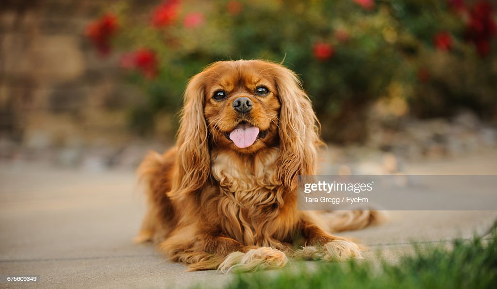Cavalier King Charles Spaniel Stock Photos And Pictures Getty Images