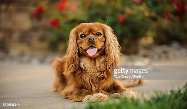 portrait of cavalier king charles spaniel sticking out tongue - cavalier king charles spaniel stock pictures, royalty-free photos & images