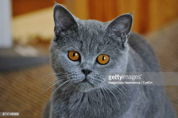 Portrait Of Chartreux At Home