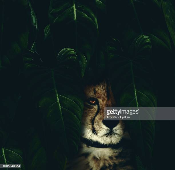 portrait of cheetah amidst leaves - dark panthera stock pictures, royalty-free photos & images