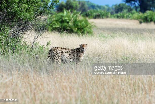 portrait of cheetah standing on grassy field - gerhard schimpf stock pictures, royalty-free photos & images