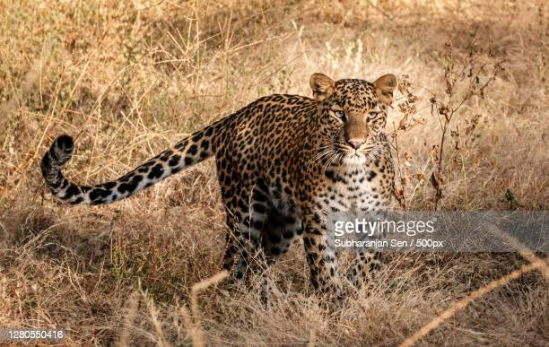portrait of cheetah walking on field,jaipur,rajasthan,india - images stock pictures, royalty-free photos & images