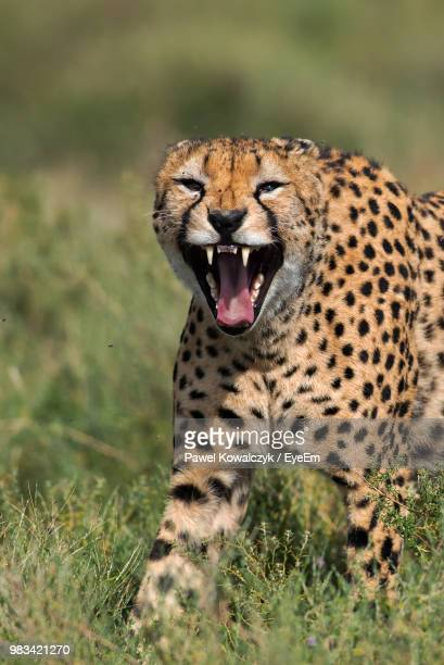 Portrait Of Cheetah With Mouth Open Standing On Grassy Field