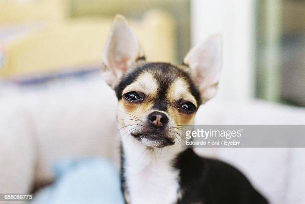 Portrait Of Chihuahua