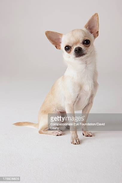 chihuahua ストックフォトと画像 getty images