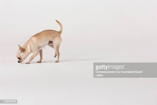 "portrait of chihuahua sniffing ground - ""compassionate eye"" stock pictures, royalty-free photos & images"