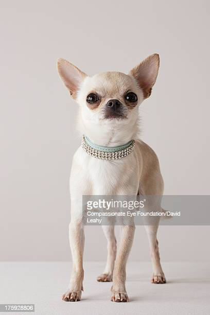 Portrait of Chihuahua with jewel collar