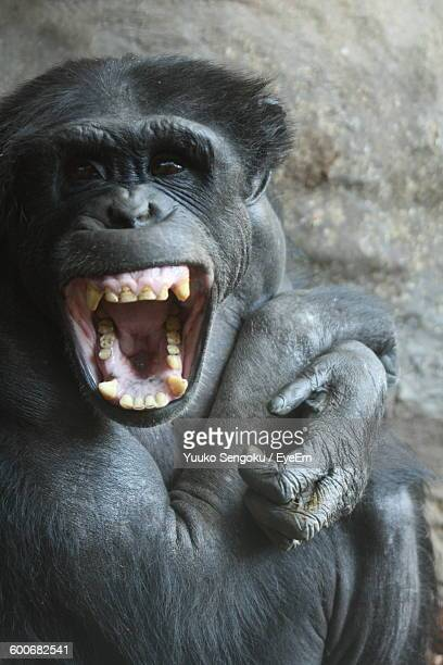 portrait of chimpanzee at zoo - chimpanzee teeth stock pictures, royalty-free photos & images