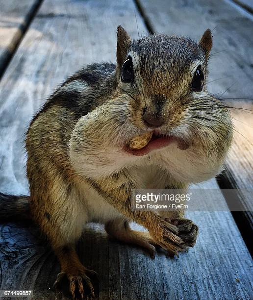 Portrait Of Chipmunk Eating Nuts On Pier