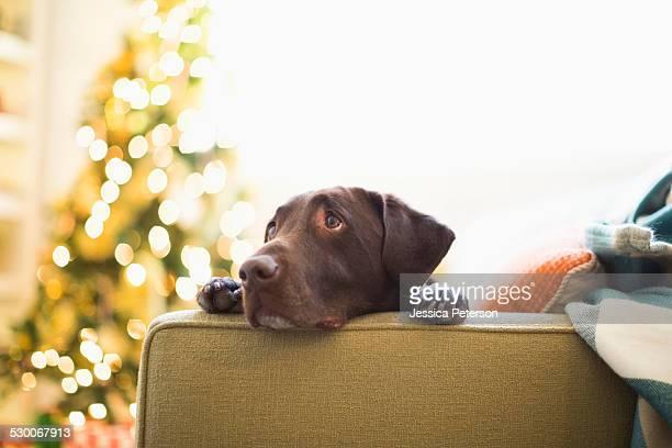 Portrait of chocolate Labrador on sofa at Christmas