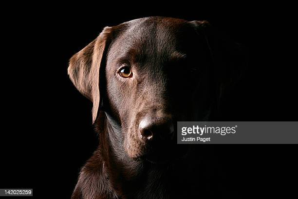 portrait of chocolate labrador - chocolate labrador stock pictures, royalty-free photos & images