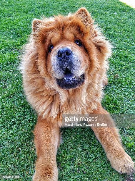 portrait of chow chow dog on grass at park - chow stock pictures, royalty-free photos & images